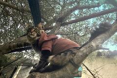 Why ever not…  ༽ ˳♪⁎˚♫ (Mona Zimba) Tags: nolan mainecoon cat caturday olivetree outdoor autumn worldofanimals