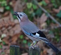 Eichelhäher (peterphot) Tags: vogel bird eichelhäher sachsen sony tamron600