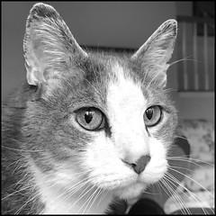 Himself (Timothy Valentine) Tags: portrait blackandwhite séféinatáann cat happycaturday datesyearss silverefex 1119 quinnomannion home 2019 eastbridgewater massachusetts unitedstatesofamerica