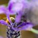 Making Lavender Honey