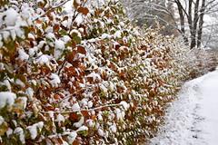 University park in Ås (sakolltveit) Tags: winter snow beech hedge fagus sylvatica