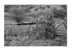 Country side on a damp autumn day (K.Pihl) Tags: leicam5 hc110b 50mmsummiluxf14 autumn monochrome countryside blackwhite film fields pellicolaanalogica schwarzweiss bw kodaktmax400 analog fence
