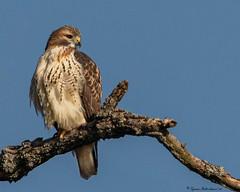 2I1A6423-Edit-2a (lfalterbauer) Tags: redtailedhawk nature wildlife photographer avian ornithology raptor birdsofprey canon 7dmarkii dslr digital lightroom