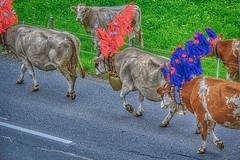 Cows on their way home (Chris Atkins65) Tags: kirchberg austria cows tradition alpine flowers bells