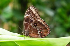 Uilvlinder (Ralph Apeldoorn) Tags: butterfly caligomemnon giantowl uilvlinder vlinder vlindertuin vlindorado waarland noordholland nederland