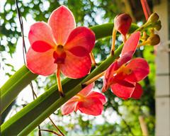 Vanda sp. Orchidaceae- orange Vanda orchid 1e (SierraSunrise) Tags: plants flowers orange orchidaceae orchids hanging epiphytes thailand phonphisai nongkhai isaan esarn vanda