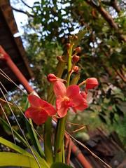 Vanda sp. Orchidaceae- orange Vanda orchid 3 (SierraSunrise) Tags: plants flowers orange orchidaceae orchids hanging epiphytes thailand phonphisai nongkhai isaan esarn vanda