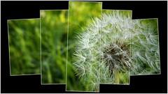 Dandelion (Luc1659) Tags: flower dandelion elaboration soffione eleganza garden white green fiore
