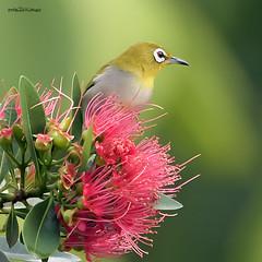 Oriental white eye (melvhsc100) Tags: nature wildlife bird flowers park greenery lightandcolors