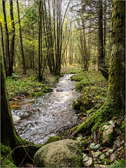 Oly_B030671 (calpha19) Tags: imagesvoyagesphotography adobephotoshoplightroom olympusomdem1mkii zuiko m12100f4 m40150pro automne octobre novembre 2019 ngc geo flickrsexplore balade forêt hautrain nature sauvage rivière ruisseau waterfall vosges grandest france