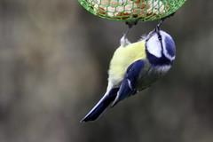 Mésange bleue à table 😊 (Tofsynet) Tags: birds europe oiseaux bleue mésange
