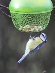 Mésange bleue à table (Tofsynet) Tags: mésange charbonnière bleue birds oiseaux europe