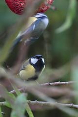J'attends mon tour (Tofsynet) Tags: mésange charbonnière bleue birds oiseaux europe