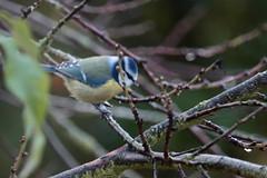 Mésange bleue (Tofsynet) Tags: mésange charbonnière bleue birds oiseaux europe