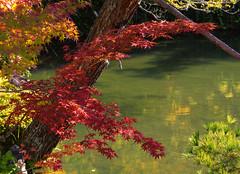 Eikando maples (Tim Ravenscroft) Tags: leaves foliage fall autumn tree garden eikando kyoto japan hasselblad hasselbladx1d pond