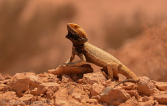 Central Bearded Dragon (Pogona vitticeps) (Mattsummerville) Tags: beardeddragon cooberpedy pogonavitticeps dragon reptile