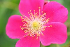 Rose (sumi!) Tags: chiba japan keiseirosegarden flower rose pink