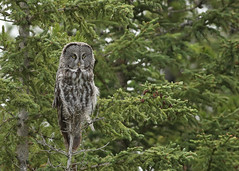 Great Gray Owl...#68 (Guy Lichter Photography - 5.3M views Thank you) Tags: canon 5d3 canada alberta wildlife animal animals bird birds owl owls greatgrayowl