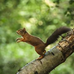 Treetop Acrobat (Fourteenfoottiger) Tags: redsquirrel squirrel nature woods woodland autumn wildlife wildanimal mammal trees forest fall jump treetops branches