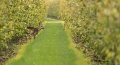 Ree / Cervus capreolus (m.ritmeester) Tags: ngc naturelovers natuur nederland zuidholland ree bruin bomen groen gras geel