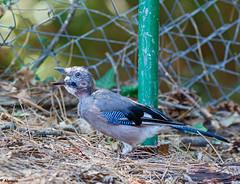 Eurasian Jay. Arrendajo Común (Garrulus glandarius) (Abasolo2011) Tags: 2019 cazorla eurasian jay arrendajo común garrulus glandarius