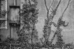 Vines On Wall (Modkuse) Tags: monochrome bw blackandwhite art artphotography artistic artisticphotography photoart fineartphotography fineart acros acrossimulation xt2acros fujifilmxt2acrossimulation sooc straightoutofcamera nopostprocessing fujifilm fujifilmxt2 xt2 fujinon fujinonxf1024mmf4rois wideangle wideanglezoomlens industrial