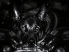 Beetle (jurgenbrokken) Tags: bw dog vw blackwhite zwartwit beetle hond dark noir germanshepherd käfer black