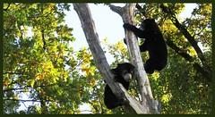 026624 2019 29 Oktober Burges Zoo Maleise Beer - Malayan Sun Bear C (mensinkr) Tags: bear beer maleisebeer boom spelen cubs zoo burgerszoo arnhem nederland thenetherlands specanimal