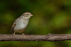 Bruant familier/Chipping sparrow (jean-francoislavallée) Tags: oiseau bird aves bruantfamilier chippingsparrow quebec canada nikon sigma nature wildlife