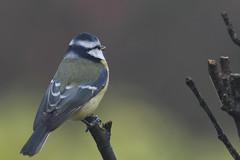 Mésange bleue (eric.courant) Tags: bird birds oiseau phto oiseaux bleue mésange mayenne animalière