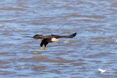 11052019-1080-2 (Bill Friggle Photography) Tags: baldeagle eagle bird raptor birdofprey wildlife conowingodam conowingo nikond600 d600 nikon nature nikon200500 200500 500mm