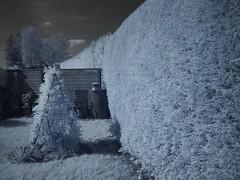 Gartenhecke in Infrarot (photohml) Tags: photograf ir infrarot infrared epl1 olympus zuiko 1442 viltrox microfourthirds garden garten monochrome 2019 dslm spiegellos mirrorless m43 micro43 mft oly penlight zuiko1442