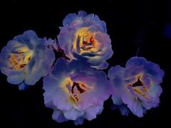 Let it glow!HSS! (Echeveria62) Tags: letitglow smileonsaturday sliderssunday