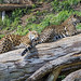 Two jaguars on the log