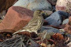Rock Pipit (Dougie Edmond) Tags: westkilbride scotland unitedkingdom pipit beach nature bird wildlife