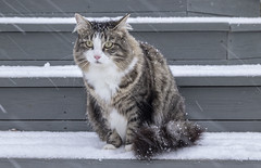 Fluffy furry cat during a snowfall. (Tamara Lopes photographer) Tags: adorable alone animal beautiful blizzard cat cold cool creepedout curious cute domestic during entrance face fall feline fluffy frost funny fur happy horizontal look nature naturebackground one outdoor outdoors outside pet portrait season single sitting snow snowfall snowy stair stairs sweet tabbycat tabbycatisolated walk weather white winter