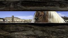 I Have an Eye on You (_aires_) Tags: aires iris route66 laguna newmexico unitedstatesofamerica horse fence weatheredwoodfence sky canoneos5dmarkiv canonef28mmf18usm lagunapueblo weatheredwood
