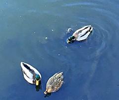 Three ducks (BrooksieC) Tags: ducks water river waterfowl ireland belfast sydenham blue northernireland trio nature