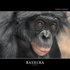 BASHIRA (Matthias Besant) Tags: affe affen affenfell animal animals ape apes pygmychimpanzee fell zwergschimpanse hominidae hominoidea mammal mammals menschenaffen menschenartig menschenartige monkey monkeys primat primaten saeugetier saeugetiere tier tiere trockennasenaffe bonobo schauen blick blicken augen eyes look looking zoo zoofrankfurt matthiasbesant matthiasbesantphotography bashira hessen deutschland