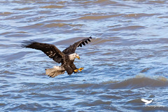 11052019-1084-2 (Bill Friggle Photography) Tags: baldeagle eagle bird raptor birdofprey wildlife conowingodam conowingo nikond600 d600 nikon nature nikon200500 200500 500mm