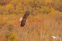 11052019-1073-2 (Bill Friggle Photography) Tags: baldeagle eagle bird raptor birdofprey wildlife conowingodam conowingo nikond600 d600 nikon nature nikon200500 200500 500mm