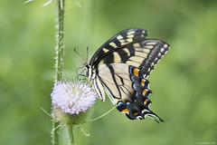 Butterfly 2019-171 (michaelramsdell1967) Tags: butterfly butterflies macro nature animal animals insect insects green bokeh yellow black wildlife thistle meadow beauty beautiful pretty lovely vivid vibrant detail delicate upclose closeup bug bugs fragile thorns zen