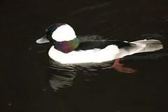 Bufflehead, WWT Slimbridge, UK (inyathi) Tags: ukenglandgloucestershire wwt slimbridge wildfowlandwetlandstrust wildfowl waterfowl birds ducks bufflehead bucephalaalbeola