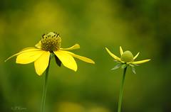 escarprmrnt_fleurs__DSF2262 (J-P Rioux) Tags: fleur escarpement fujifilm xt3 jprioux