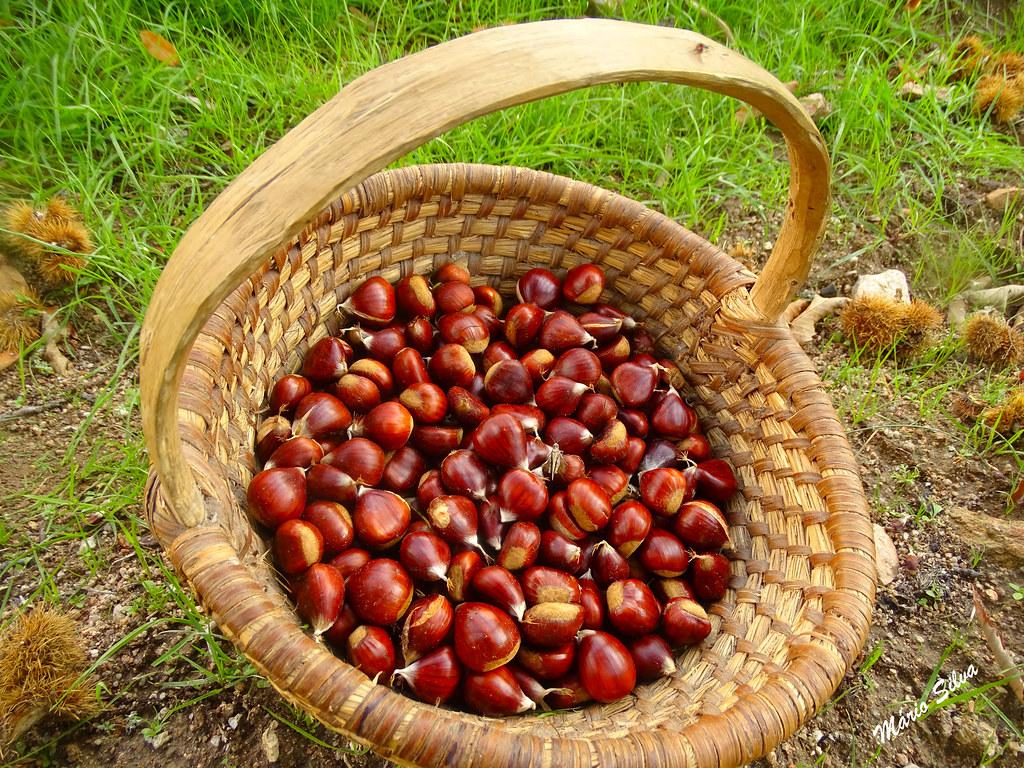 Águas Frias (Chaves) - ... um cesto de saborosas castanhas, acabadas de apanhar ,,,
