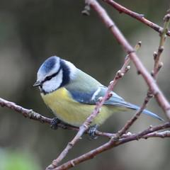 Mésange bleue (Tofsynet) Tags: birds europe oiseaux bleue mésange charbonnière