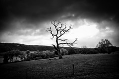 Rain, Tree Crow. (Livesurfcams) Tags: tree dead ravished devon hallsannery withered life mono fuji xt1 23mm
