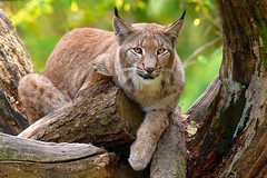 Silent Hunter | The Lynx (picsessionphotoarts) Tags: nikon nikonphotography nikonfotografie nikond850 norddeutschland luchs lynx lynxlynx afsnikkor200500mmf56eedvr tierfotografie animalphotography inthefields countrysidelife