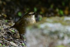 MPP_6923 (Marco N. Pochi) Tags: nikon nikkor nature n500pf lesser shortwing bird wildlife d850 500pf hongkong