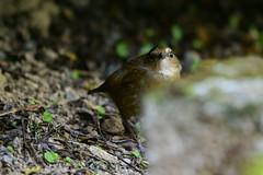 MPP_6918 (Marco N. Pochi) Tags: nikon nikkor nature n500pf lesser shortwing bird wildlife d850 500pf hongkong